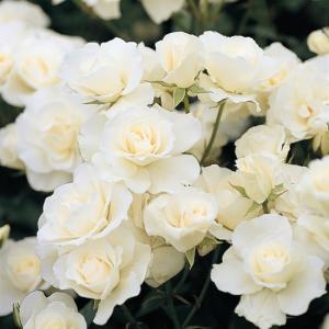 (アウトレット) 苗B バラ苗 つるアイスバーグ 6号スリット鉢 つるバラ(CL) 返り咲き中輪 白系