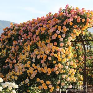 サハラ'98  Sahara  返り咲き つるバラ系(CL) Climbing Roses  作出国...