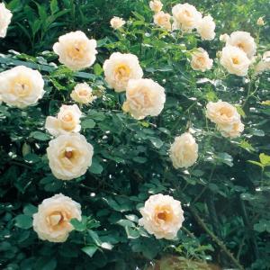 バラ苗 ロココ 国産大苗6号スリット鉢 つるバラ(CL) 返り咲き オレンジ系