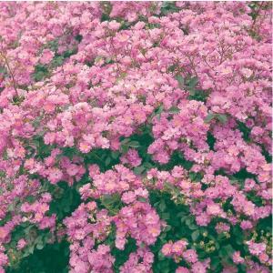 バラ苗 ラベンダードリーム 国産大苗6号スリット鉢 修景用 四季咲き 紫系