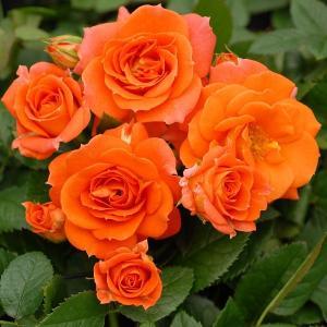 バラ苗 アンバーメイアンディナ 国産大苗6号スリット鉢 ミニチュア系ポットローズ 四季咲き中輪 オレンジ系