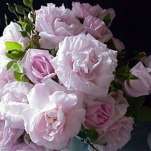 (アウトレット) 苗B バラ苗 ニュードーン 6号スリット鉢 つるバラ(CL) 四季咲き  ピンク系