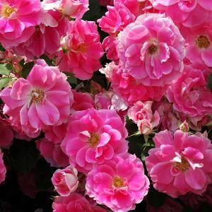 バラ苗 ケアフリーワンダー 国産大苗6号スリット鉢 修景用 フロリバンダ(FL) 四季咲き中輪  ピンク系