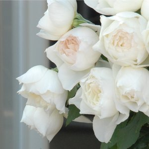 バラ苗 しずく 国産大苗6号スリット鉢 フロリバンダ(FL) 四季咲き中輪 白色系(F&Gローズ)