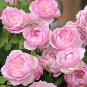 バラ苗 みやこ 国産大苗6号スリット鉢 フロリバンダ(FL) 四季咲き中輪 ピンク系(F&Gローズ)