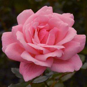 バラ苗 クイーンエリザベス(クィーンエリザベス) 国産大苗6号スリット鉢 ハイブリッドティー(HT) 四季咲き大輪 ピンク系
