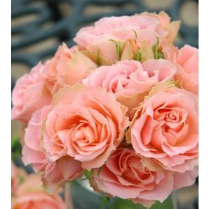 バラ苗 ロマンティックレース 国産新苗4号ポリ鉢フロリバンダ(FL) 四季咲き中輪 ピンク系