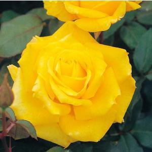 バラ苗 ゴールデンハート 国産新苗4号ポリ鉢ハイブリッドティー(HT) 四季咲き大輪 黄色系