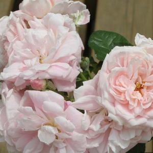 バラ苗 ロザリーラモリエール(ベルサイユのばらシリーズ) 国産大苗6号スリット鉢 フロリバンダ(FL) 四季咲き中輪 ピンク系