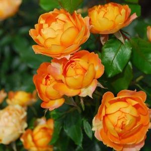 バラ苗 ハニーキャラメル 国産新苗4号ポリ鉢 フロリバンダ(FL) 返り咲き中輪 オレンジ系