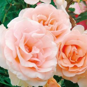 バラ苗 ミセスアイリスクロウ 国産大苗6号スリット鉢  フロリバンダ(FL) 四季咲き中輪 ピンク系