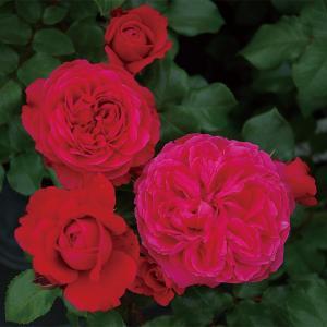 バラ苗 レッドレオナルドダビンチ 国産新苗4号ポリ鉢フロリバンダ(FL) 四季咲き中輪 赤系