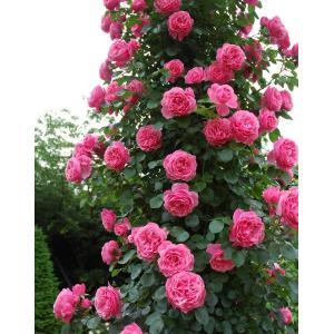 バラ苗 レオナルドダビンチ 国産大苗6号スリット鉢 つるバラ(CL) 返り咲き ピンク系