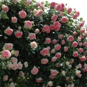 (アウトレット) 苗B バラ苗 ピエールドゥロンサール 6号スリット鉢 つるバラ(CL) 返り咲き 複色系