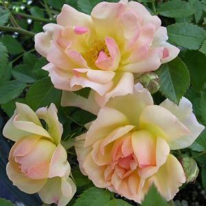 バラ苗 フィリスバイド 国産大苗6号スリット鉢 つるバラ(CL) 返り咲き 複色系