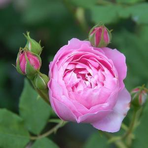 (アウトレット)苗B バラ苗 ラレーヌヴィクトリア(ラレーヌビクトリア) 6号スリット鉢 つるバラ 返り咲き ピンク系
