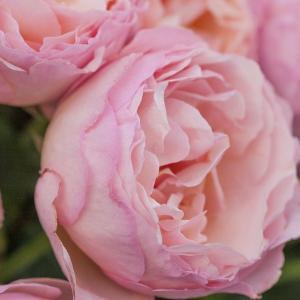 バラ苗 プリンセスシャルレーヌドゥモナコ 国産大苗6号スリット鉢 ハイブリッドティー (HT) 四季咲き大輪  ピンク系