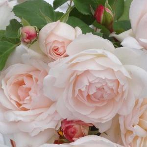 バラ苗 ステファニーグッテンベルク 国産新苗4号ポリ鉢フロリバンダ(FL) 四季咲き中輪 ピンク系 アンティークタイプのバラ