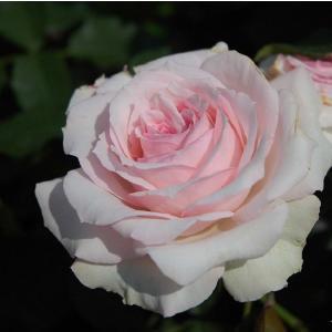 バラ苗 春乃(はるの) 国産大苗6号スリット鉢 フロリバンダ(FL) 四季咲き中輪 ピンク系