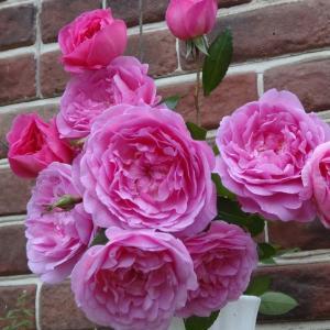バラ苗 オーキッドロマンス 国産新苗植え替え6号スリット鉢 フロリバンダ(FL) 四季咲き中輪 ピンク系 アンティークタッチのバラ