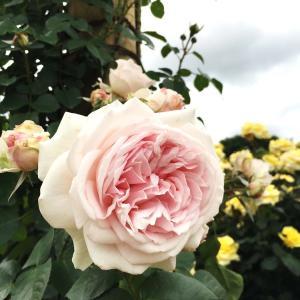 バラ苗 ルミナスピラー 国産大苗6号スリット鉢 つるバラ(CL) 返り咲き 大輪 ピンク系
