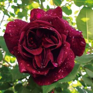 バラ苗 セネガル 国産大苗6号スリット鉢 つるバラ(CL) 返り咲き 赤系