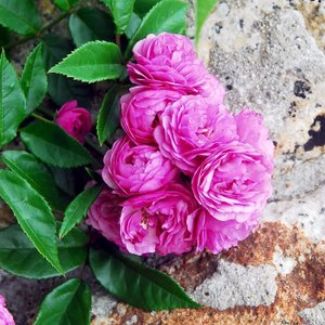 アウトレット バラ苗 大苗 エクセレントフォンシューベルト つるバラ CL 四季咲き ピンク系