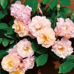 バラ苗 コーネリア 国産大苗6号スリット鉢 つるバラ(CL) 返り咲き ピンク系