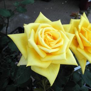 バラ苗 光華(こうか) 国産大苗6号スリット鉢 ハイブリッドティー(HT) 四季咲き大輪 黄色系