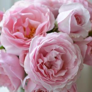バラ苗 プリンセスクレアドゥベルジック 国産大苗6号スリット鉢  四季咲き中輪 ピンク系 オランダヤンスペックローゼン