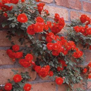 バラ苗 絆(きずな) 国産大苗6号スリット鉢 返り咲き小輪 つるバラ(CL) 赤系