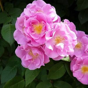 ラッキー Lucky 四季咲き 中輪系 つるバラ(CL) Fryer's Roses  Fryer'...