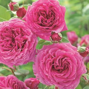 クレールマーシャル フロリバンダ(FL) 四季咲き中輪系   Harkness Roses(ハークネ...