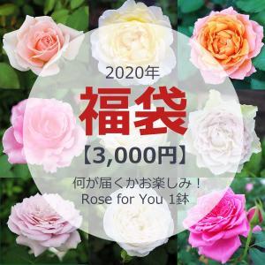2020福袋 何が届くかお楽しみ! Rose for You バラ苗 1鉢/順次配送