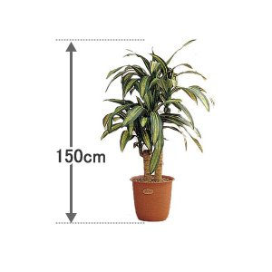 代金引換不可 人工観葉植物  幸福の木150cm |  引越し祝い 新生活 グリーン インテリアグリーン プレゼント ギフト 室内 大型 玄関|royal3000