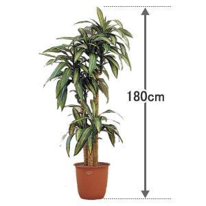 代金引換不可 人工観葉植物  幸福の木180cm |  引越し祝い 新生活 グリーン インテリアグリーン プレゼント ギフト 室内 大型 玄関|royal3000