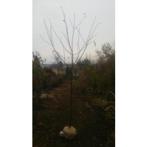 1955年に飯田勝美が静岡県賀茂郡河津町田中で原木を偶然発見したことが由来です。当初、発見者の飯田氏...