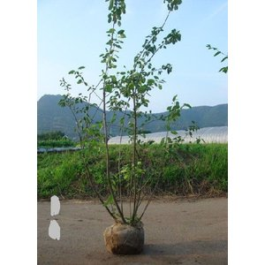 ジュンベリ−株立ち 樹高2.0m