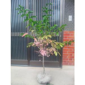 マユミが属するニシキギ科の名は、 錦のような紅葉の美しさから名づけられました が、その仲間のマユミも...