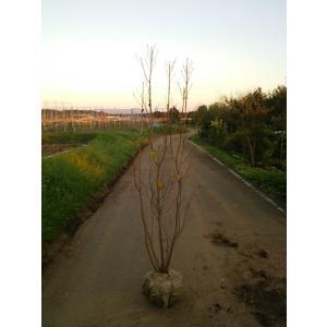 リョウブ 株立ち 樹高1.8m前後 雑木の庭に