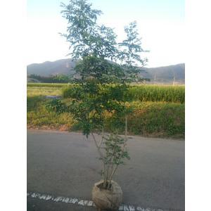 シマトネリコ株立ち  樹高1、5メートル