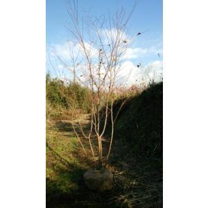 アカシデ株立ち アカメソロ 樹高2,0メートル