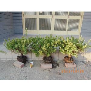 日本で江戸時代から園芸化され,花 の美しい品種が多く,盆栽や鉢花,庭木に栽培されるツツジ科の低木。和...