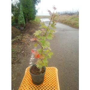 金隠れ  別名 黄金イタヤ イタヤモミジの黄金葉種で鮮やかな黄葉とウチワのような葉型が特徴です。  ...