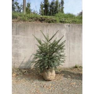 クリスマスの本物のモミの木はいかがですか?日本中どこでも植栽可能です。 化粧鉢(10号)入りにも出来...