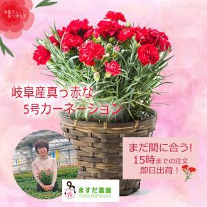 母の日 母の日ギフト お母さん ありがとう お花 鉢植え ギフト プレゼント お取り寄せ / 岐阜県産 真っ赤 カーネーション 鉢植5号 ryouheido