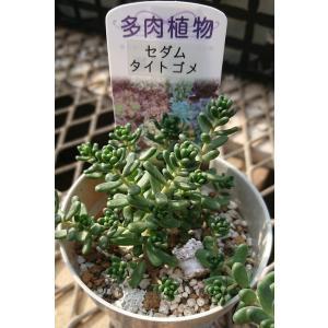 (ミニ多肉植物) セダム タイトゴメ 国産 1株 観賞用