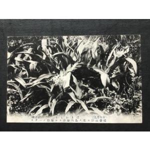 ∞002a 絵葉書 日向青島 はまおもと(石蒜科)植物 |ryuden