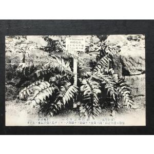 ∞002a 絵葉書 日向青島 おにやぶそてつ(水龍骨科)植物 |ryuden