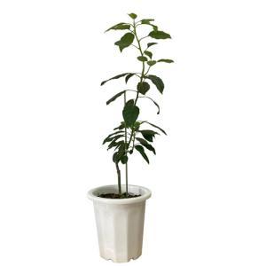 アボカド苗(ピンカートン種) 接木苗|ryuuka